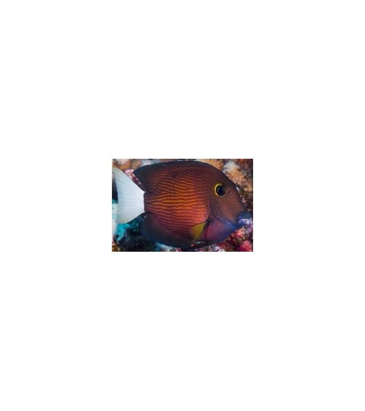 Ctenochaetus flavicauda