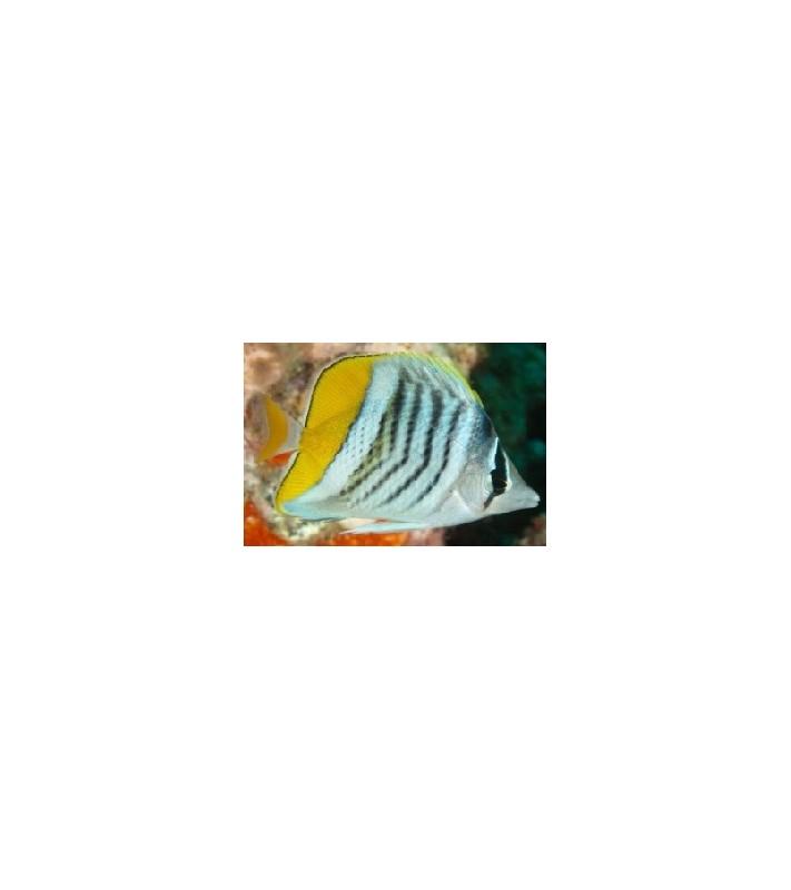 Chaetodon mertensii