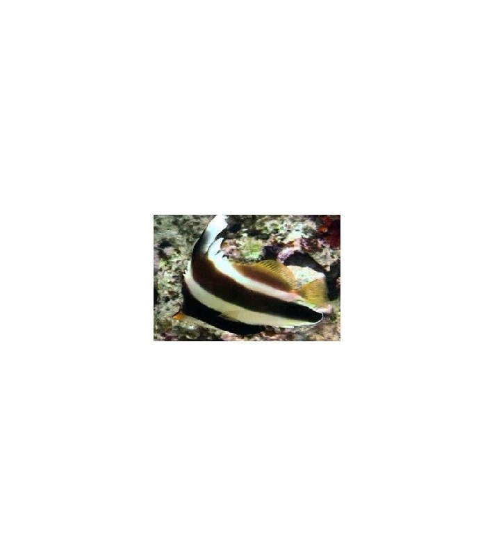 Heniochus chrysostomus
