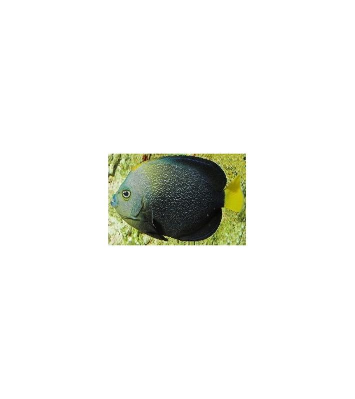 Chätodontoplus Caeruleopunctatus