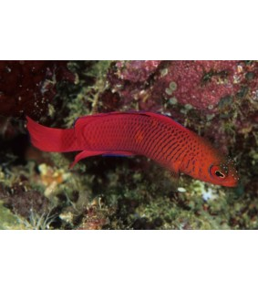 Pseudochromis Mc Cullochi