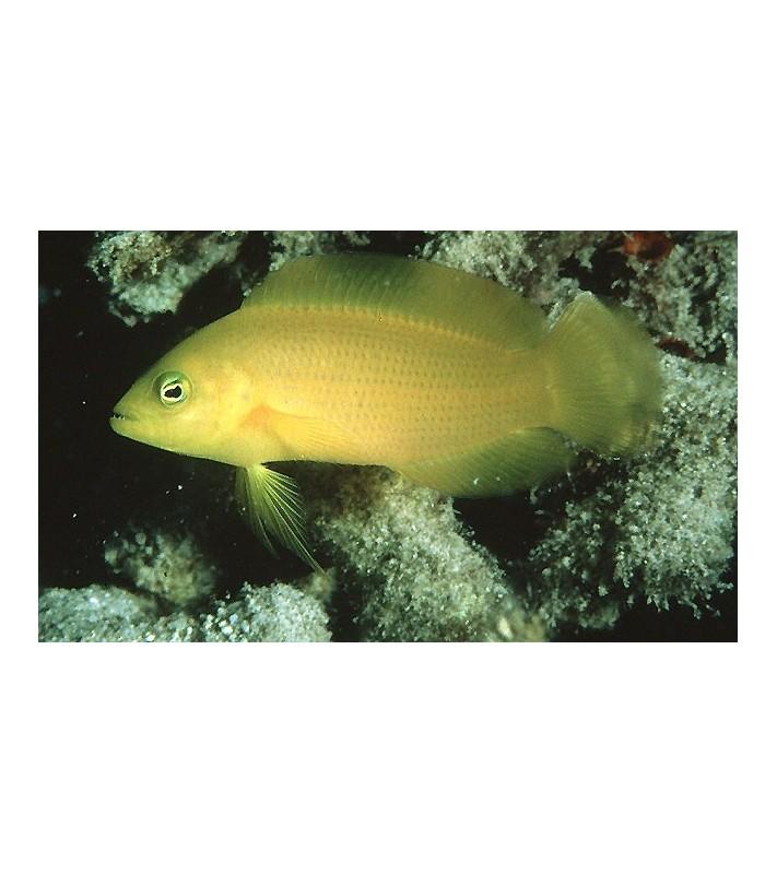 Pseudochromis fuscus
