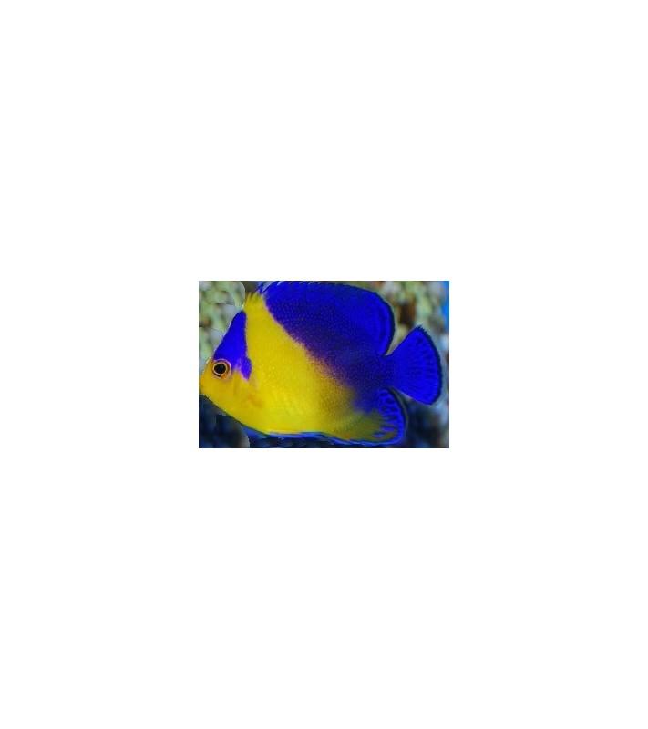 Centropyge Venusta