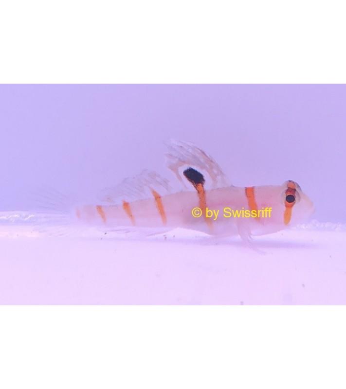 Amblyeleotris randalli