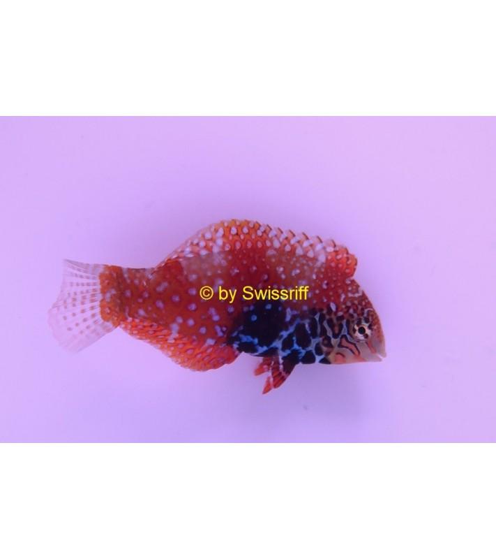 Macropharyngodon bipartitus Male
