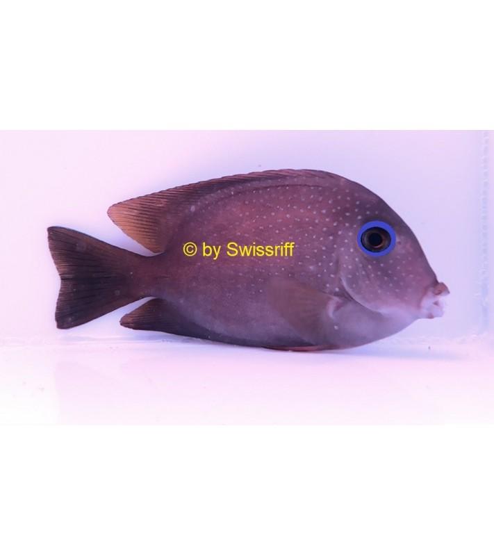 Ctenochaetus Sp