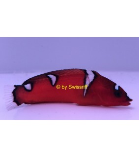 Coris gaimard