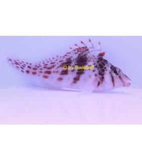 Cirrhitichthys falco