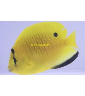 Apolemichthys trimaculatus