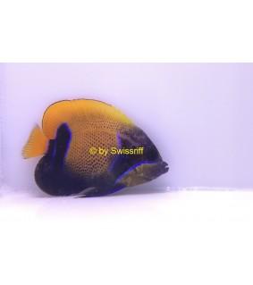 Pomacanthus navarchus