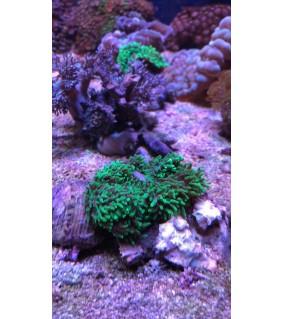 Rhodactis sp. green