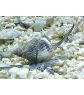 Nassarius margaritifer Snail