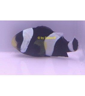 Amphiprion polymnus