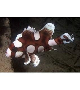 Plectorhinchus Chaetodonoides