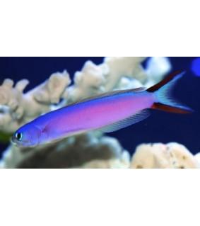 Hoplolatilus purpureus