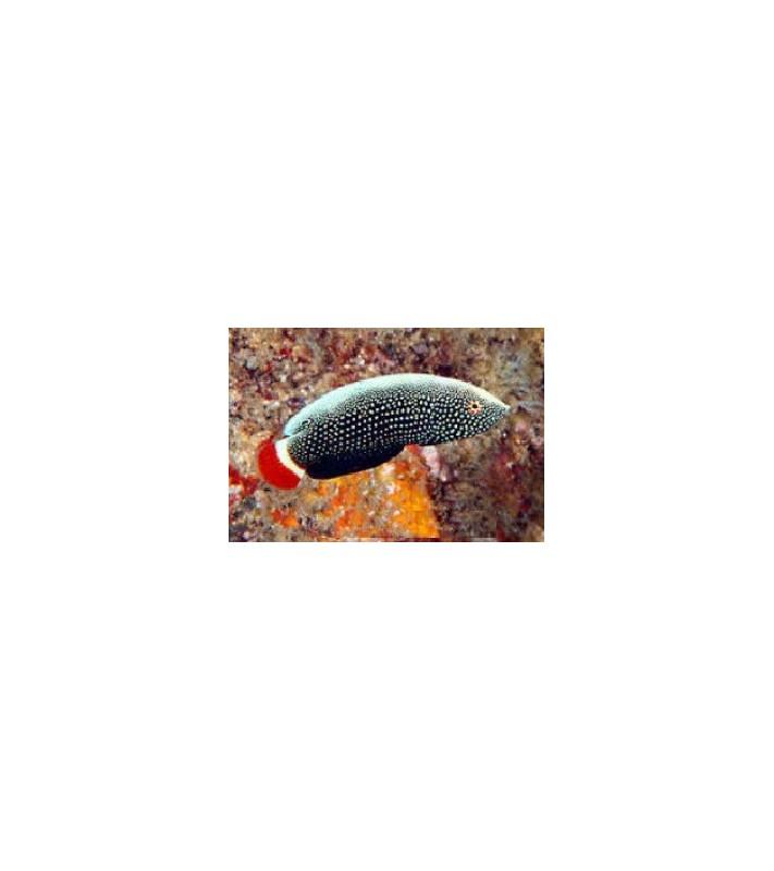 Anampses chrysocephalus