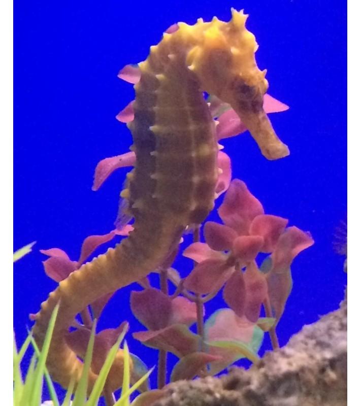 Hippocampus barbouri