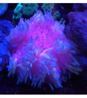 Heteractis malu (Purple)