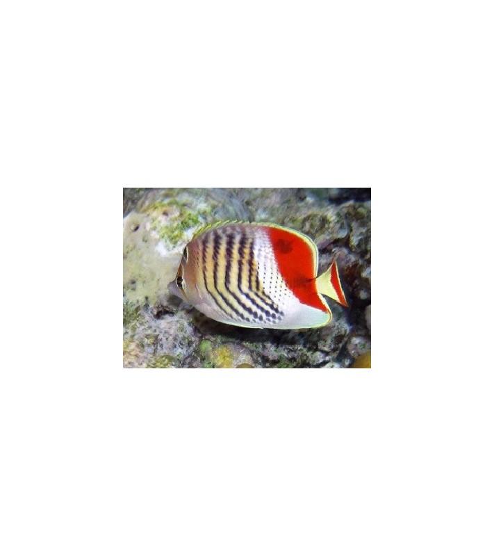 Chaetodon paucifasciatus