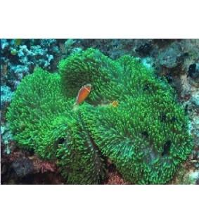 Heteractis Magnifica (Green)
