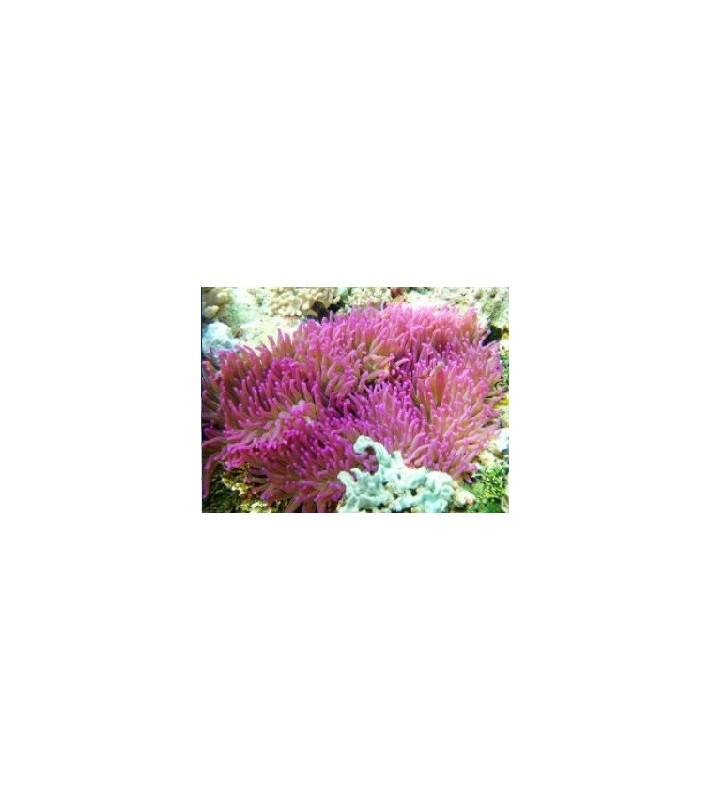 Heteractis Magnifica (Purple)