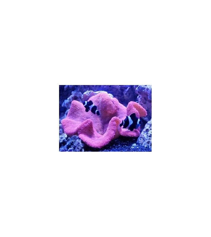 Stichodactyla Gigantea (Pink)