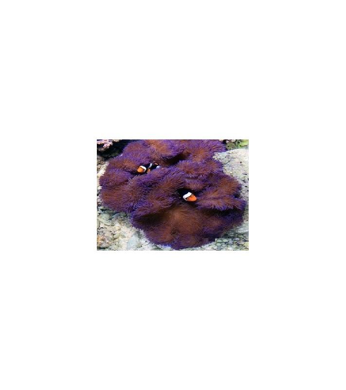 Stichodactyla Gigantea (Purple)