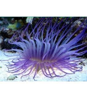 Cerianthus Sp. (Purple/Blue)