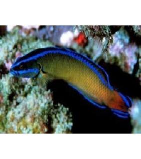 Pseudochromis Dutoiti