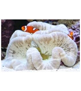 Stichodactyla Haddoni (White)