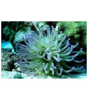 Condylactis Gigantea green