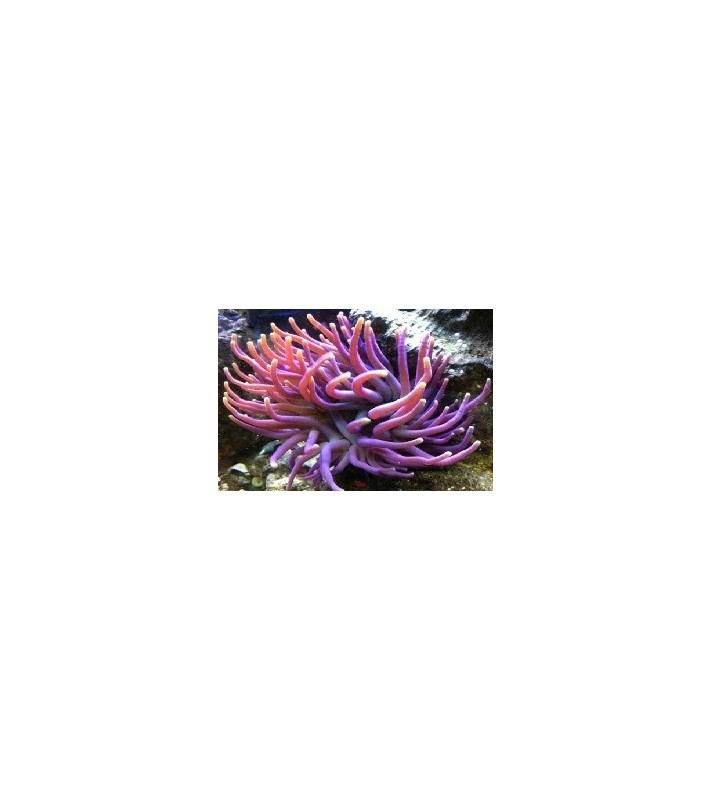 Condylactis Gigantea purple