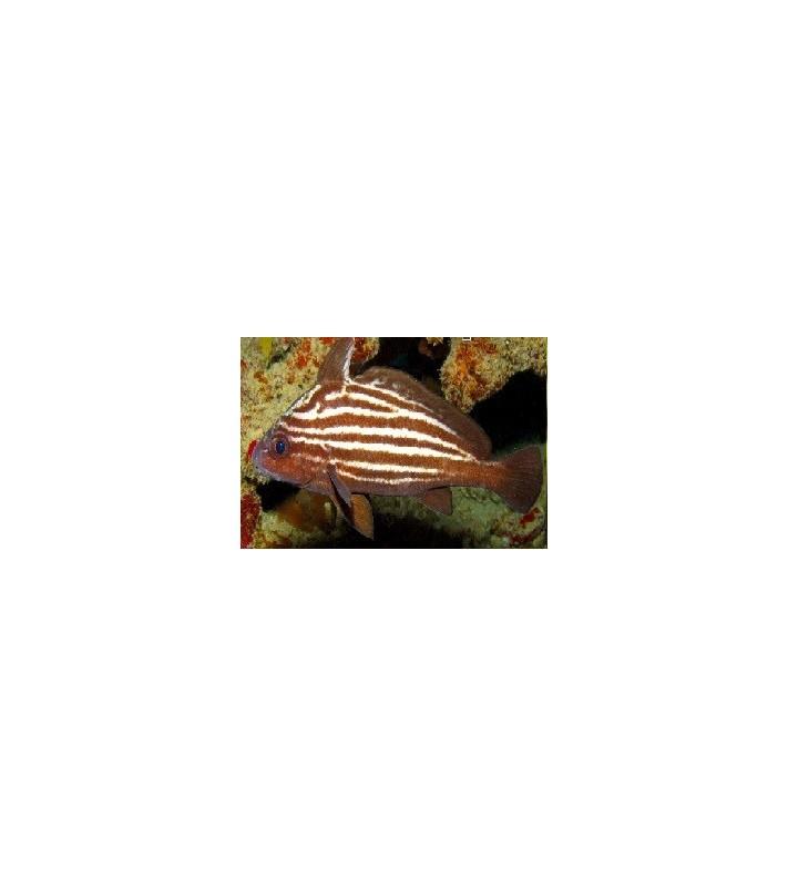 Pareques Acuminatus