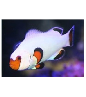 Amphiprion ocellaris W. White