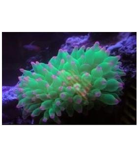 Entacmaea Quadricolor Neon