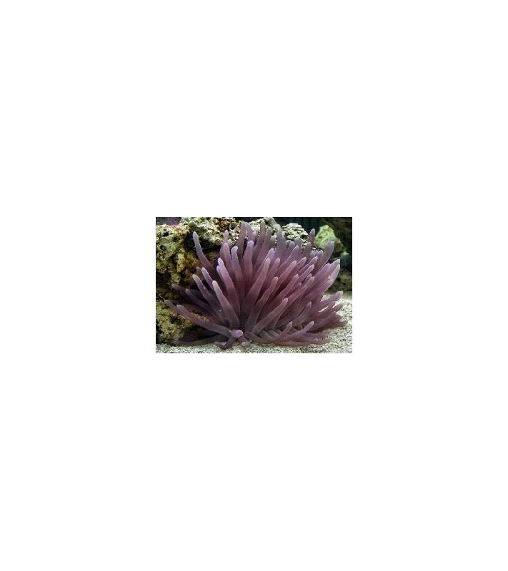 Condylactis Gigantea violet