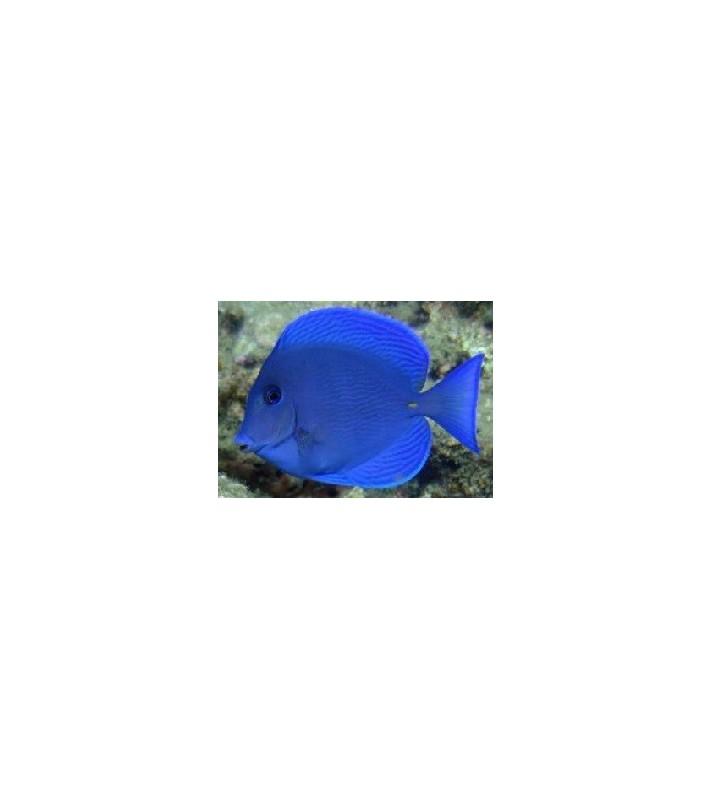 Acanthurus coeruleus blue