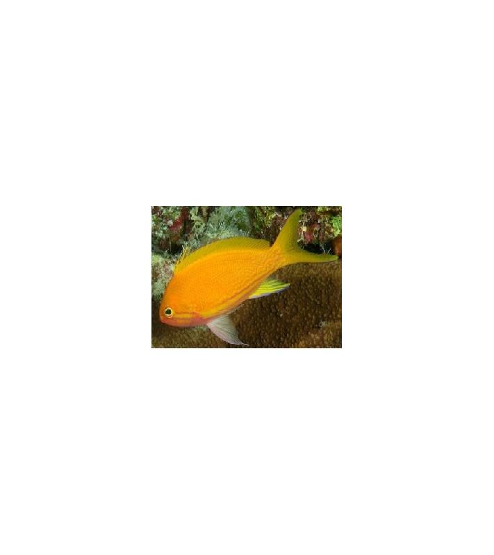 Pseudanthias pleurotaenia Male