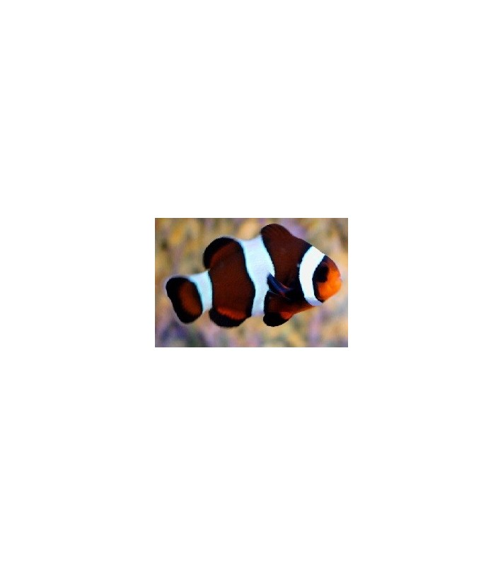Amphiprion ocellaris brown