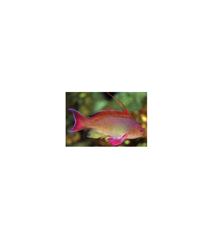Anthias squamipinnis Male