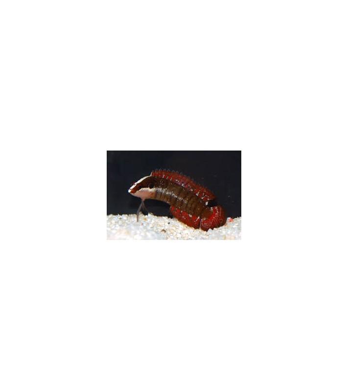 Belonepterygion fasciolatum