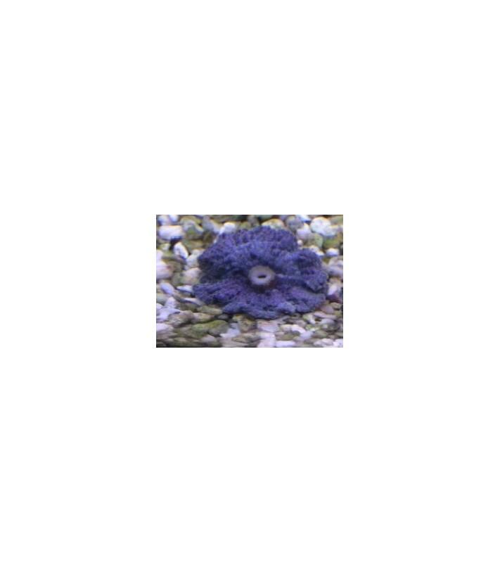 Ricordea yuma Green/Violet