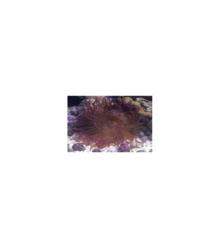 Heteractis malu purple