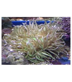 Heteractis malu (green)