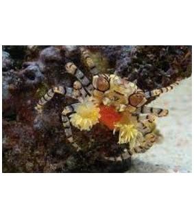 Lybia tesselata