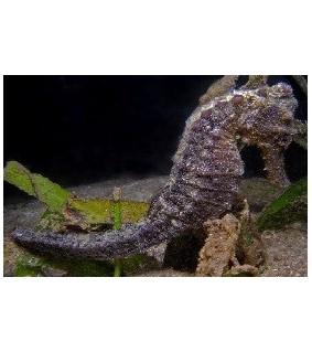 Hippocampus Kuda