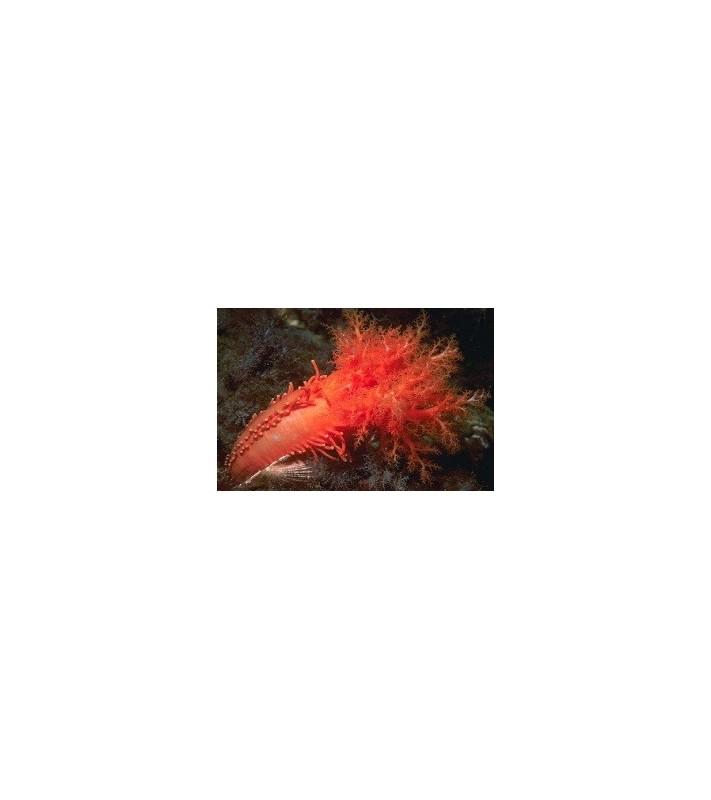 Cucumaria miniata