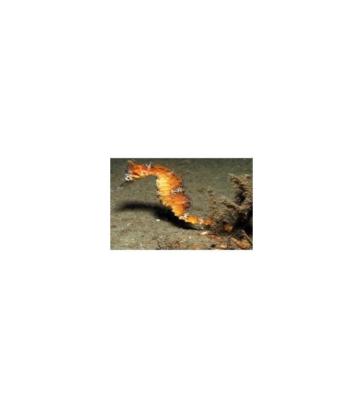 Hippocampus subelongatus