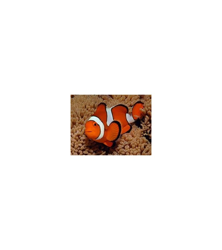 Amphiprion Percula/Sulawesi
