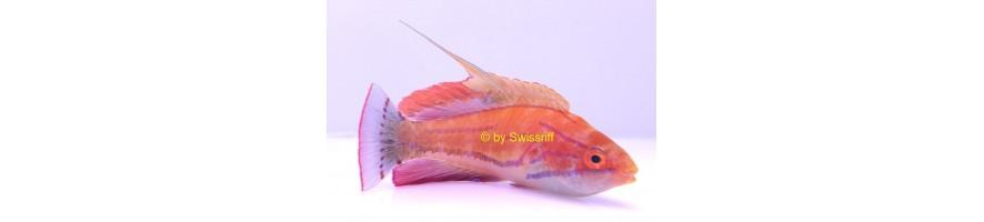 Lippfische